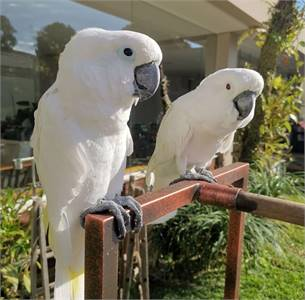 Male and female Cockatoo parrots for sale