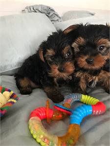 Teacup yorkie puppies available (919)752-8022