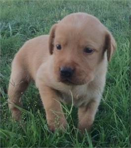 !!!! ADORABLE LABRADOR RETRIEVER PUPPIES READY FOR THEIR NEW HOME !!!!