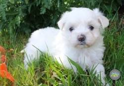 Maltese Puppies Ready To Go