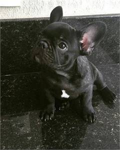 Gorgeous Frenchie need a home