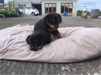 Pedigree Rottweiler puppies .+1 (323) 905-8290