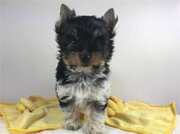Adorable  Yorkshire Terrier puppy for Adoption