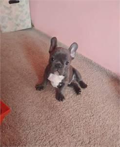Frenchie puppy (762) 212-3149