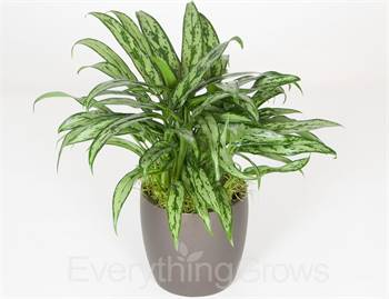 Buy Plants For Office Desk online from Everything Grows at lowest price