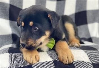 fhfro German Shepherd Pups