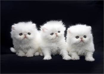 Fantastic Persian Kittens for sale now