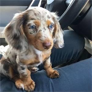 Dapple Daschund puppies needs new homes