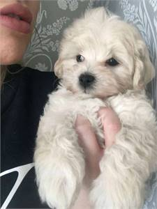 Maltipoo Puppies are now available to go