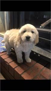 gorgeous litter of golden retriever  puppies available