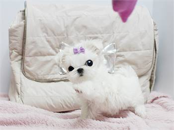 MicroTeacup Maltese  Puppies males and females for sale