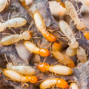 Contact And Identifying To Your House Termite Control in Lakewood Ranch.