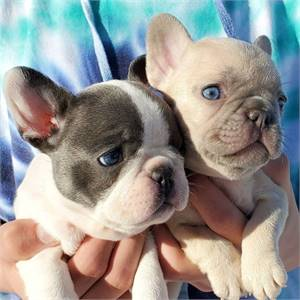 My cute Frenches puppies are ready to go out text 8143398200
