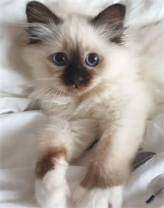 Birman Kitten for Sale Near Me