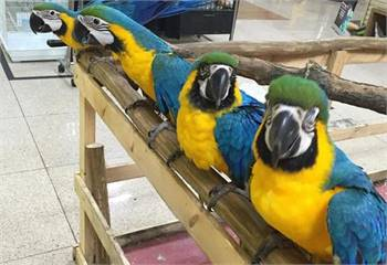 Blue and Gold Maca Parrots For Sale
