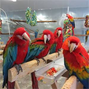 Green wing Macaw Parrots on Sale