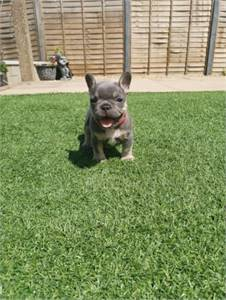 Home Raise French bulldog for Sale