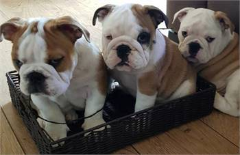 Cute and Adorable outstanding English Bulldog puppies