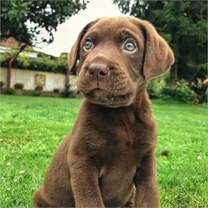Beautiful Labrador puppies Ready For Sale