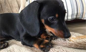 Daschund puppies available for pickup