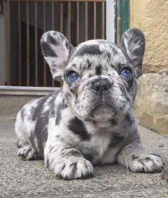 French bulldog puppies for adoption.