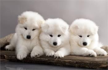 Beautiful ❤️ Samoyed puppies need new homes