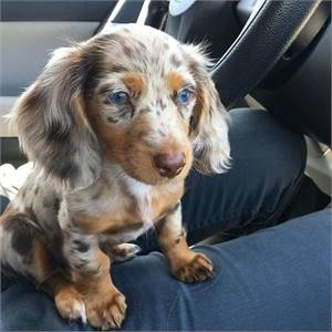 Daschund puppies for new homes now