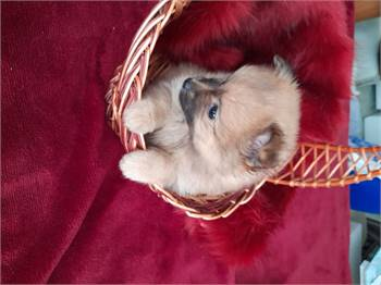 Cute Pomeranian puppies available now for sales